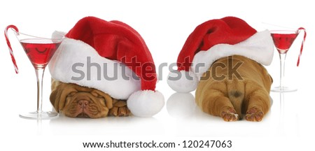 christmas puppy - santa dogue de bordeaux from the front and back with cocktail drink on white background - 4 weeks old - stock photo