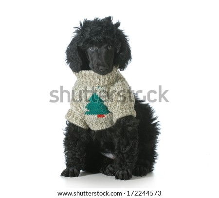 christmas puppy - standard poodle puppy wearing silly christmas sweater isolated on white background - 8 weeks old - stock photo