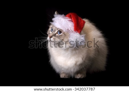 Christmas Ragdoll Cat on black backdrop - stock photo