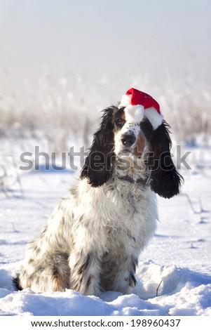 Christmas Spaniel in Snow - stock photo