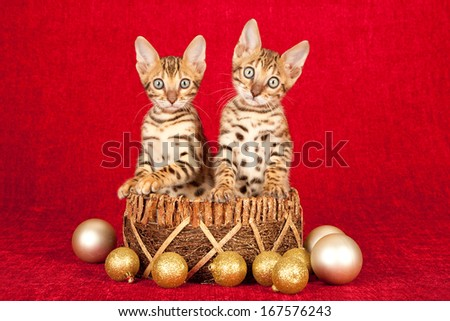Christmas theme Bengal kittens sitting inside gold basket with gold glitter ornaments against red backdrop - stock photo