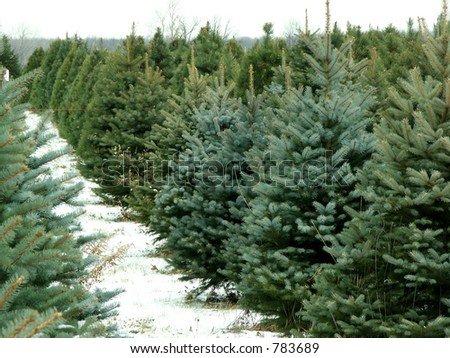 Christmas tree farm - stock photo