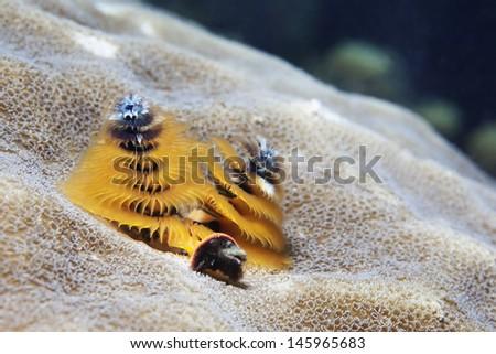 Christmas Tree Worm  - stock photo