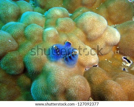 christmas tree worm at the underwater coral reef of the Similan Islands,Thailand - stock photo