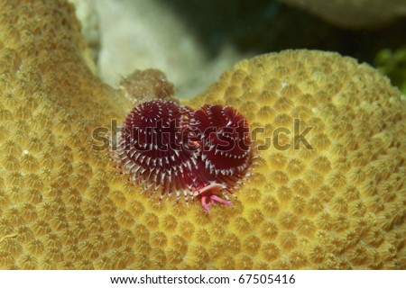 christmas-tree worm on boulder star coral - stock photo