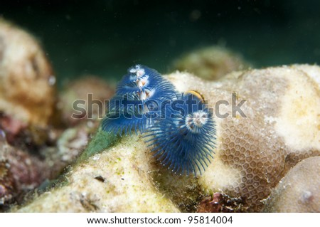 Christmas Tree Worm-Spirobranchus giganteus - stock photo