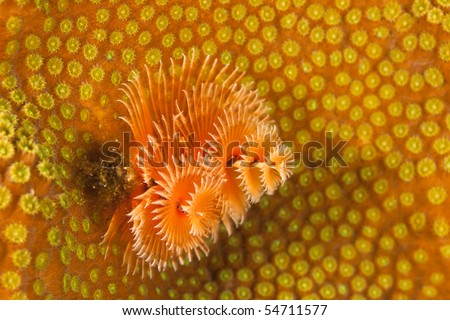 Christmas Tree Worm (Spirobranchus giganteus) on a tropical coral reef in Bonaire, Netherlands Antilles. - stock photo