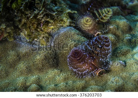 Christmas tree worms living on a star coral head in St. Vincent - stock photo