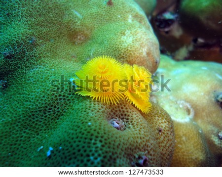 christmas tree worms on the coral reef - stock photo