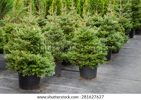 Christmas trees in pots for sale - stock photo
