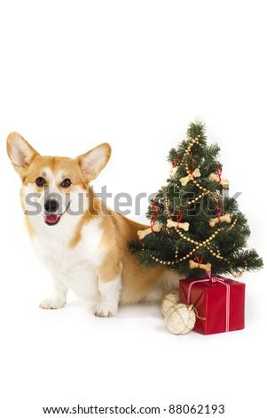 Christmas Welsh Corgi dog - stock photo