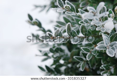 Christmas, winter background with frosty boxtree. Macro shot - stock photo