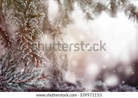 Christmas, winter background with frosty pine tree. Beautiful seasonal background - stock photo