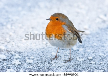 Christmas Winter Robin on Icy Snowy Ground - stock photo