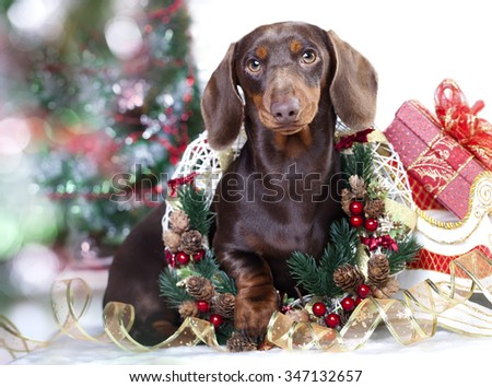 Christmas wreath on neck dachshund puppy - stock photo