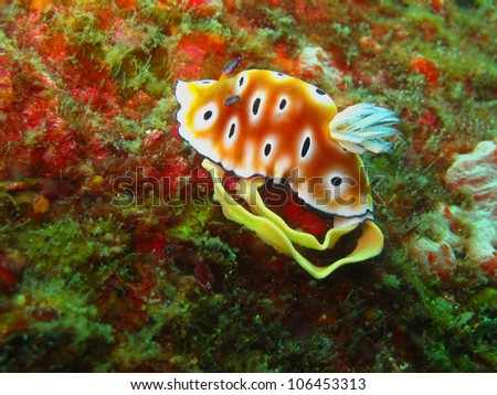 Chromodoris Leopard, a kind of sea slug. This shot was taken at Similan Island, Andaman sea, Thailand while she's spawning. - stock photo