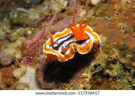 Chromodoris nudibranch (Chromodoris magnifica). Nudibranch is a type of sea slug known for its colorful body - stock photo