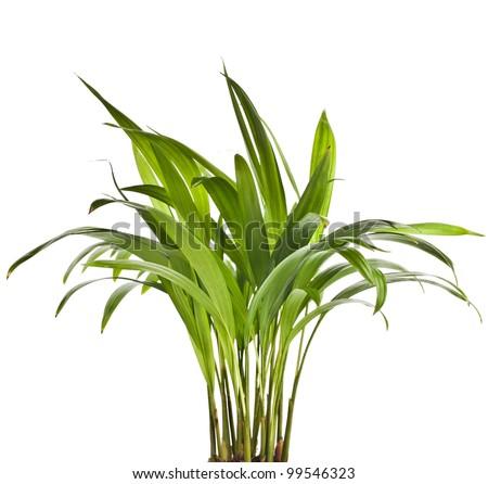 Chrysalidocarpus lutescens palm tree isolated on white - stock photo