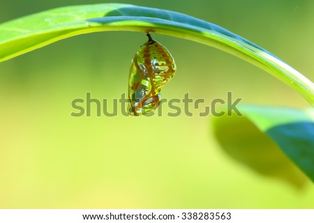 Chrysalis Butterfly hanging on a leaf . - stock photo