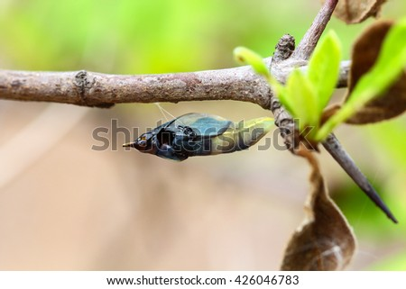 Chrysalis Butterfly hanging on trees . - stock photo