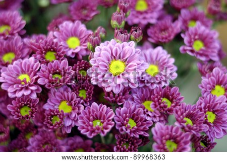 Chrysanthemum - stock photo