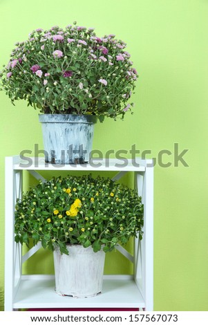 Chrysanthemum bushes in pots on shelves on green background - stock photo