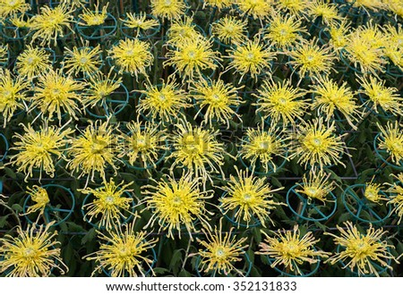 chrysanthemum flower and buds. - stock photo