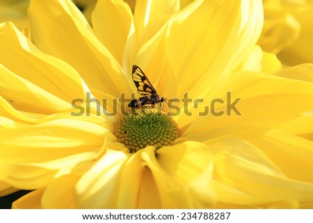 Chrysanthemum flower and insect,closeup of yellow Chrysanthemum flower in full bloom - stock photo