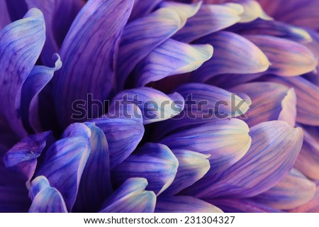 Chrysanthemum flower,closeup of blue with purple Chrysanthemum flower in full bloom - stock photo