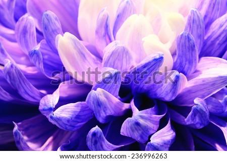 Chrysanthemum flower,closeup of purple Chrysanthemum flower in full bloom - stock photo