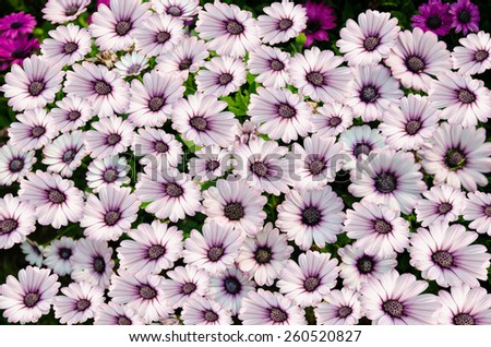 Chrysanthemum flower,closeup of purple with white Chrysanthemum flower in full bloom - stock photo