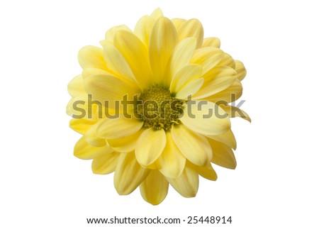 chrysanthemum flower isolated on white background - stock photo