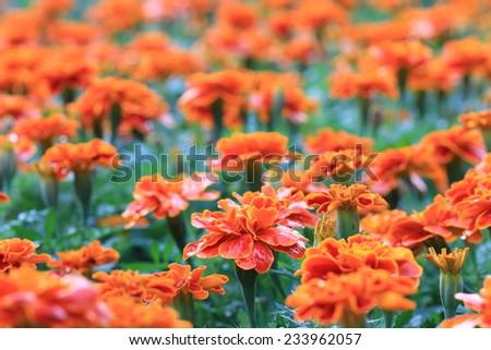 Chrysanthemum flowers,orange with yellow Chrysanthemum flowers blooming in the garden  - stock photo