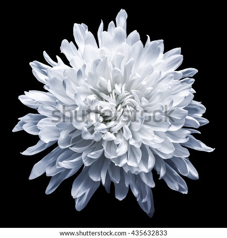 Chrysanthemum on a black background - stock photo