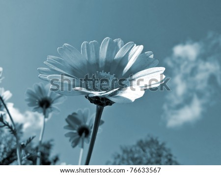 chrysanthemum on background blue sky - stock photo