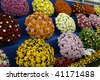 Chrysanthemums at Chelsea Flower Show - stock photo