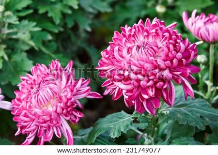 Chrysanthemums bloom in the garden - stock photo