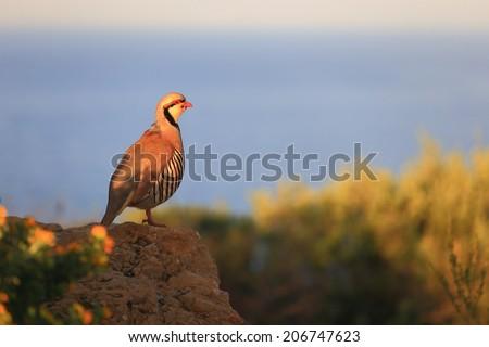 Chukar Partridge against blurry sea at sunrise - stock photo