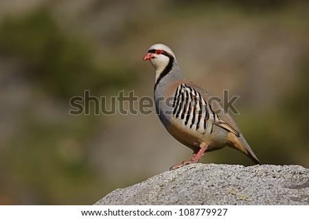"Chukar Partridge on rock with smoothly blurred background, northern Washington, near the Canada border; Pacific Northwest wildlife / bird / nature; ""The National Bird of Pakistan"" - stock photo"