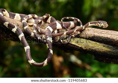 Chunk-headed tree snake (Imantodes cenchoa) - stock photo