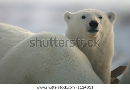 Churchill Northern Manitoba town and surroundings Polar Bear - stock photo