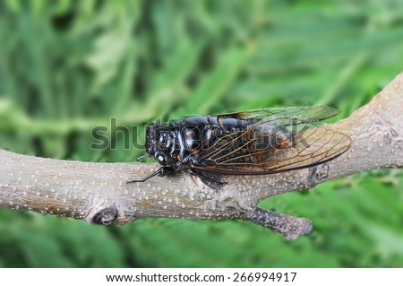 Cicada isolated on Green background - stock photo