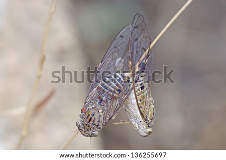 cicadas are mating in the forest - stock photo