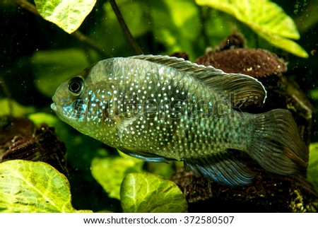 Cichlid - stock photo