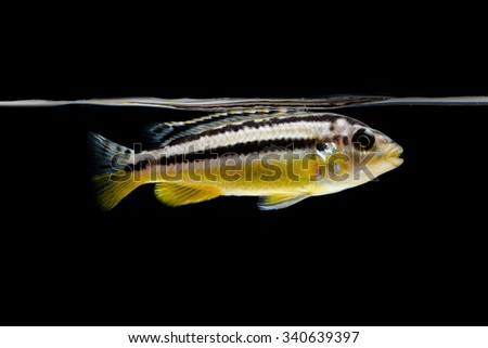 Cichlid fish in aquarium - stock photo