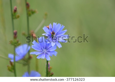 Cichorium intybus, Is one of the most widely seen summer time wild flowers in Michigan - stock photo