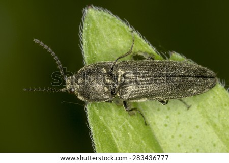 Cidnopus sp. in natural habitat / Elateridae - stock photo