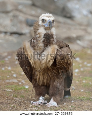 Cinereous vulture (Aegypius monachus) is large raptorial bird that is distributed through much of Eurasia. It is also known as black vulture, monk vulture, or Eurasian black vulture - stock photo