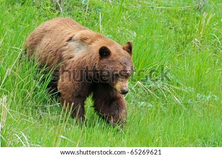 Cinnamon Black Bear in Yellowstone National Park - stock photo