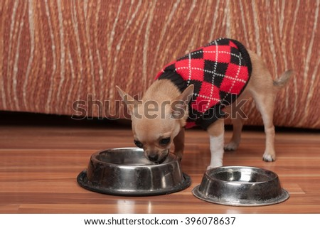 Cinnamon Chihuahua puppy dressed with pullover drinking water at home 4 months old female.  - stock photo